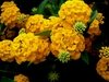 20 Golden yellow Hydrangea Flower Seeds