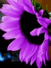 20 Rare Purple Sun flower seeds Ships FREE