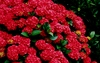 20 Red Hydrangea Flower Seeds Ships FREE