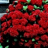 20 Red Hydrangea Flower Seeds - Ships Free