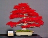 20 Crimson Red Maple Tree Bonsai Flower Seeds