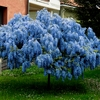 Wisteria 10 Blue flower seeds Bonsai or Tree outside Ships FREE