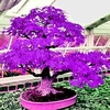 20 Purple Scarlet Maple Bonsai Tree Seeds Ships FREE