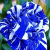 50 Rare Blue Rose Flower Seeds Ships Free