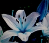 50 Blue Lily Flower Seeds Lilies