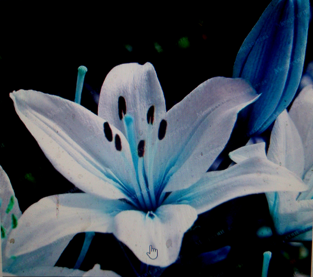 50 Blue Lily Flower Seeds Lilies Ships Free