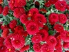 50 Red chrysanthemum flower seeds Ships FREE