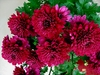 50 chrysanthemum flower seeds Ships FREE
