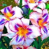 50 Lily Multi Colored Flower Seeds - Ships Free