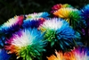 50 Rainbow Chrysanthemum Flower Seeds - Ship Free