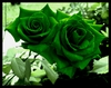50 Rare Green rose flower seeds  Ships Free