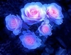 50 Rare Pink and Blue rose flower seeds  Ships FREE
