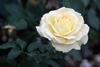 50 White rose flower seeds Ships Free