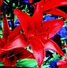 50 Red Lily Flower Seeds Lilies