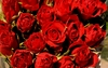 50 Red Crimson rose flower seeds Ships FREE