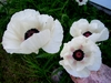 50 White Poppy Flower Seeds poppies Ships FREE