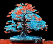 20  Royal Blue and Red Bonsai Tree Seeds