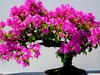 20  Pink Bonsai Tree Seeds for inside or out