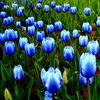 20 Rare Blue Tulips Flowers Seeds - Ships Free