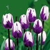 20 Rare Purple Tulips Flowers Seeds - Ships Free