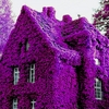 100 Rock Purple cress Climbing plant Seeds Ships FREE