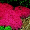 Rock Red cress Climbing plant 100 Seeds