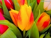 20 Tulips Flower Seeds Red and Yellow - Ships Free