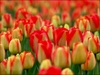 20 Tulips Flower Seeds Yellow and Red - Ships free