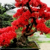 Wisteria 10 Red flower seeds Bonsai or tree outside Ships FREE