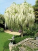 Wisteria 10 White flower seeds Bonsai or Tree outside Ships FREE