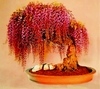 Wisteria seeds - Rare red flower Bonsai Seed