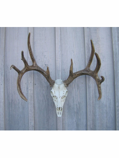 WHITETAIL DEER EUROPEAN MOUNT
