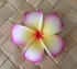 POINTED PETAL PLUMERIA-White w/ Yellow Center & Pink Tips