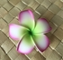 POINTED PETAL PLUMERIA-White w/ Green Center & Purple Tips