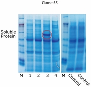 SOS Protein Solubility Optimization