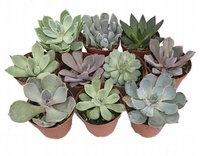 10 DIFFERENT DESERT ROSE SUCCULENT PLANTS - ECHEVERIA - EASY TO GROW -
