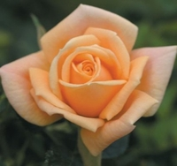 "'Apricot Twist' Miniature Rose - Disease Resistant - 4"" Pot - Fragrant"