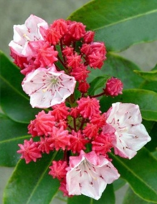 Olympic Fire- Mountain Laurel
