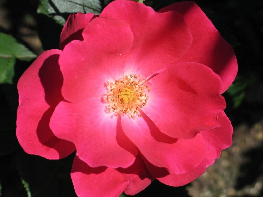 Red Knock Out Rose Bush Everblooming Disease Resistant