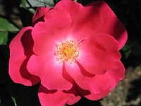 'Red Knock Out' Rose Bush - Everblooming/Disease Resistant