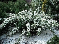 Snowbelle-Mockorange - Philadelphus - Low Grower!
