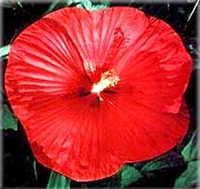 Southern Belle Mix-Hibiscus Perennial - Nine Inch Blooms - One Quart