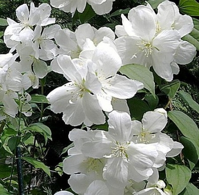 White Rock-Mockorange - Philadelphus - Semi Double Flowers