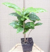 "Arabica Coffee Bean Plant - 4"" pot"