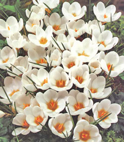 Ard Schenk Species Crocus - 5 bulbs