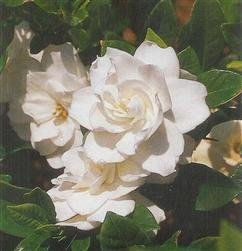 Gardenia 'August Beauty' Flowering Shrub 4 inch pot