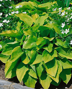 August Moon Hosta - 2 root divisions