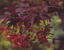 Bloodgood Red Japanese Maple
