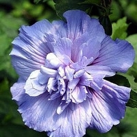 Blue Chiffon' Hibiscus Rose of Sharon