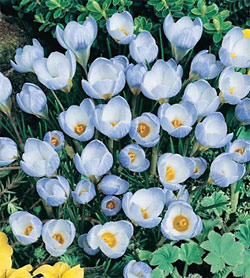 Blue Pearl Species Crocus - 5 bulbs